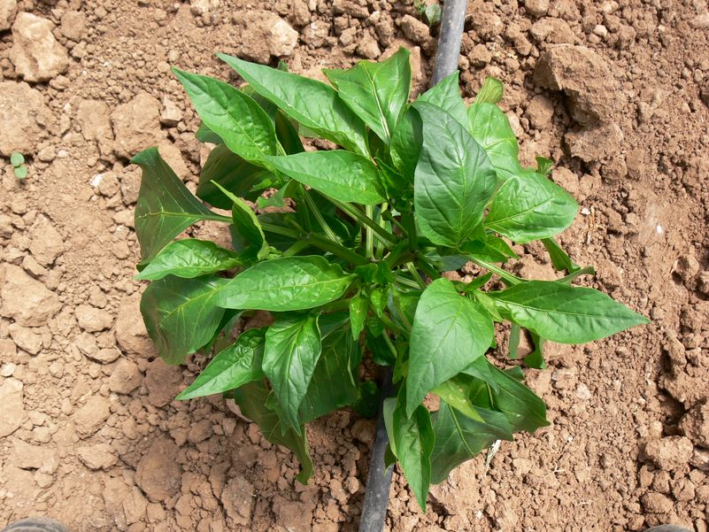 young pepper plant